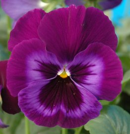 Copy of Pansy Blue with Blotch Closeup