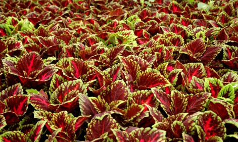 Kong Coleus (Westrate)