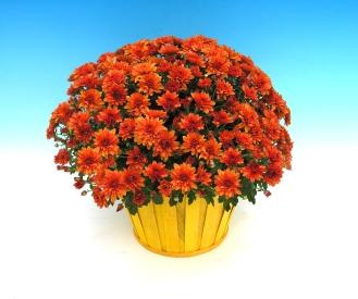 Mums Orange